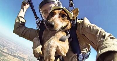 军犬哭囹�a��(�-c_超狂军犬们挑战「3000公尺跳伞」!表情超淡定还会摆pose.